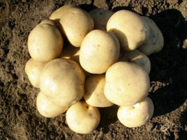 Картофель продовольственный, семенной, фотография 2