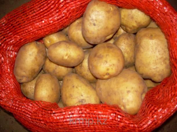 Картофель продовольственный, семенной, фотография 3