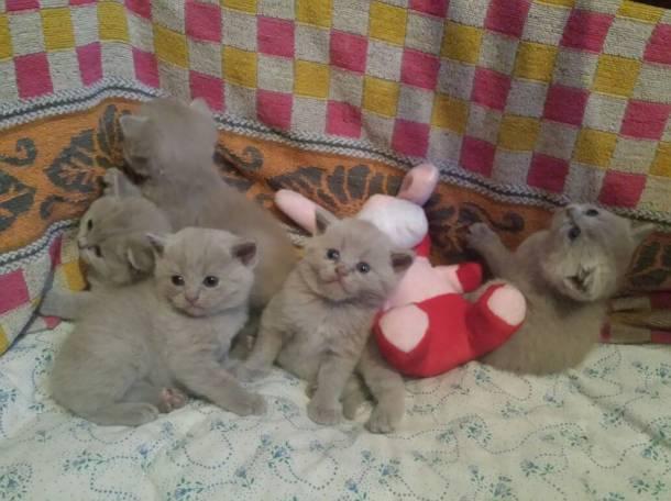 Продаются британские котята, фотография 2