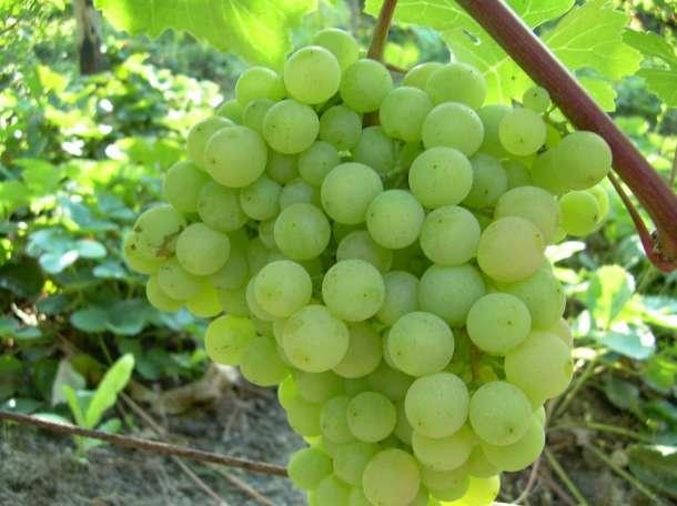 Саженцы винограда, фотография 4