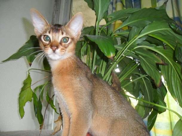 абиссинские котятки из питомника, фотография 11