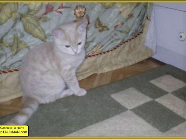 Шотландские  котята  Скоттиш-Страйт, фотография 3