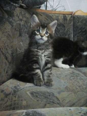 Продаются    котята (мальчики)   Мейн-Кун, фотография 2