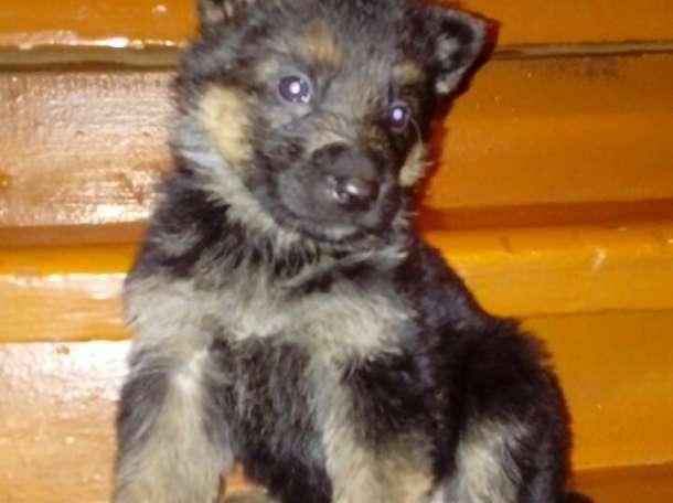 Продам щенков немецкой овчарки, фотография 2