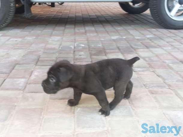 Продам щенков Итальянского мастифа, фотография 11