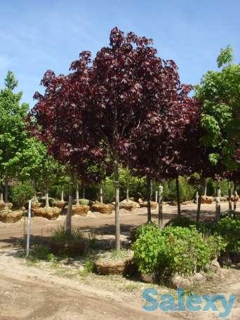 Хвойные  и лиственные деревья. Посадка  с гарантией., фотография 4