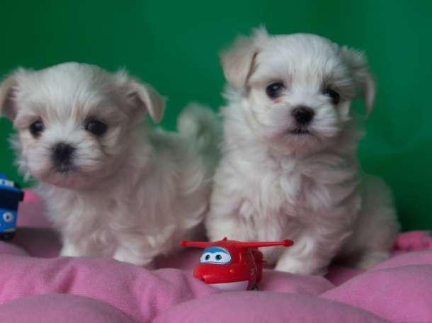Продаются кукляшные щенки мальтезе, фотография 4