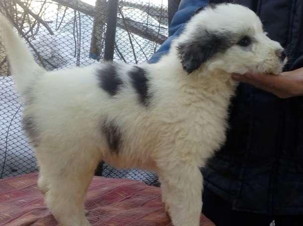 Продам щенков южнорусской овчарки от племенных родителей РКФ, СКК, в возрасте два месяца, клеймо документы, фотография 2
