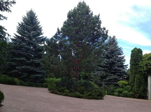 посадка хвойных деревьев, фотография 5
