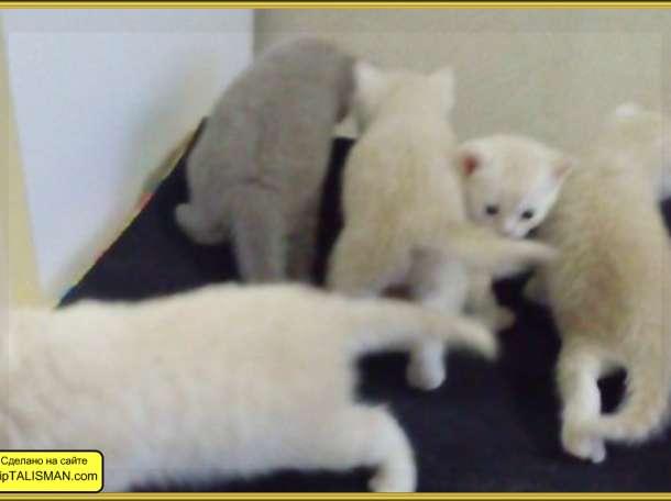 Продаю  котят Скоттиш-страйт  и Скоттиш-Фолд, фотография 2