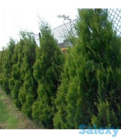 Саженцы Туи для озеленения, фотография 4