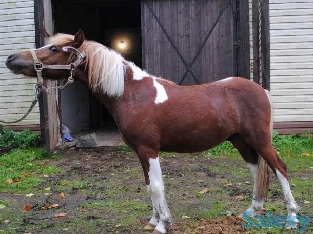 Продажа пони. Пони-ферма., фотография 7