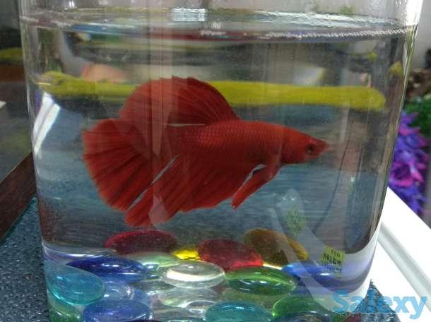 Рыбка петушок, фотография 2