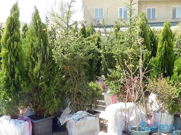 Озеленение, саженцы, хвойные деревья, удобрения, фотография 1