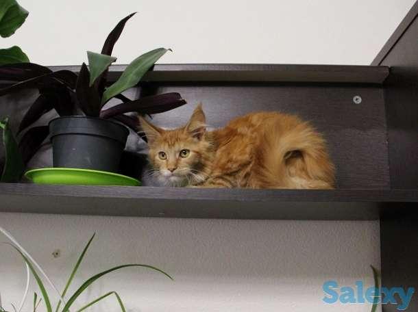 Котята мейн куна в Новосибирске., фотография 4