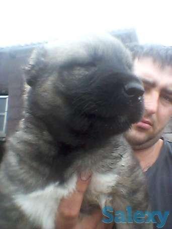 Продам щенков Кавказкой овчарки, фотография 1