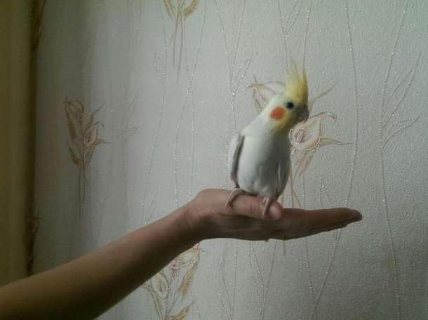 Продаю попугая Кореллу  , фотография 1