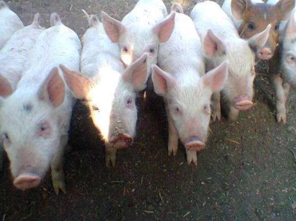 Бесплатная доска объявлений откорм свиней дать объявление крым симферополь недвижимость