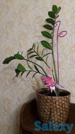 Продам домашний цветок в горшке, фотография 1