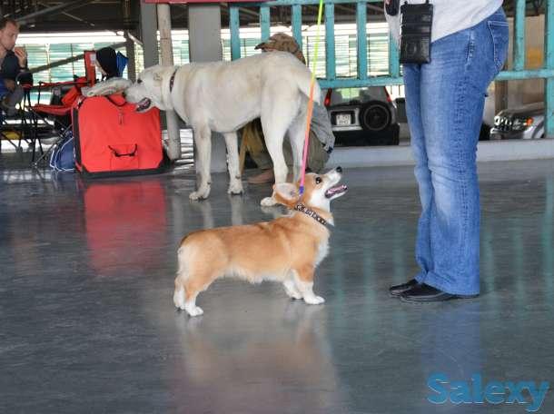 Вельш Корги Пемброк щенки (питомник «Nivas Joy» в Алматы), фотография 2