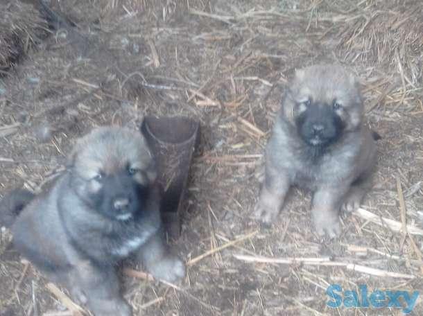 Продам щенков Кавказкой овчарки, фотография 4