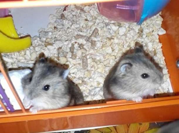 Продаются джунгарские хомячки, фотография 5