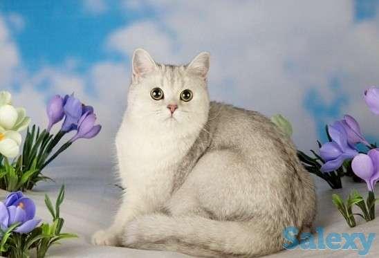 Котята Британцы драгоценных окрасов в Новосибирске, фотография 7