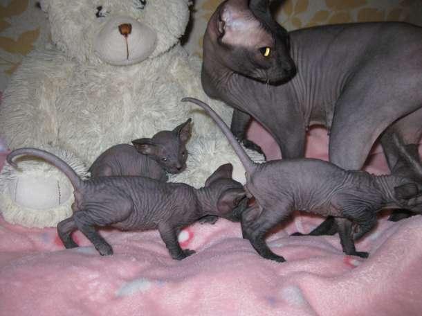 Котята порода Сфинкс, фотография 1