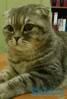 Ищу кота вислоухого, фотография 2