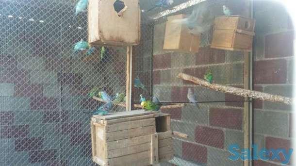 Волнистые попугаи разных размеров и возрастов, фотография 1