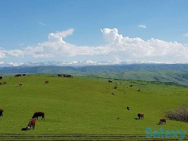 Асыл тұқымды ірі қара, Племенные телки, бычки, быки, Аренда бычков, фотография 8