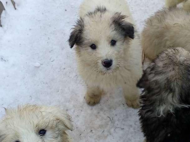 Продам щенков южнорусской овчарки, фотография 2