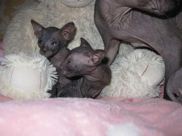 Котята порода Сфинкс, фотография 3