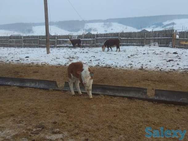 Продам КРС, Коров, Быков, Телок, Телят, фотография 6